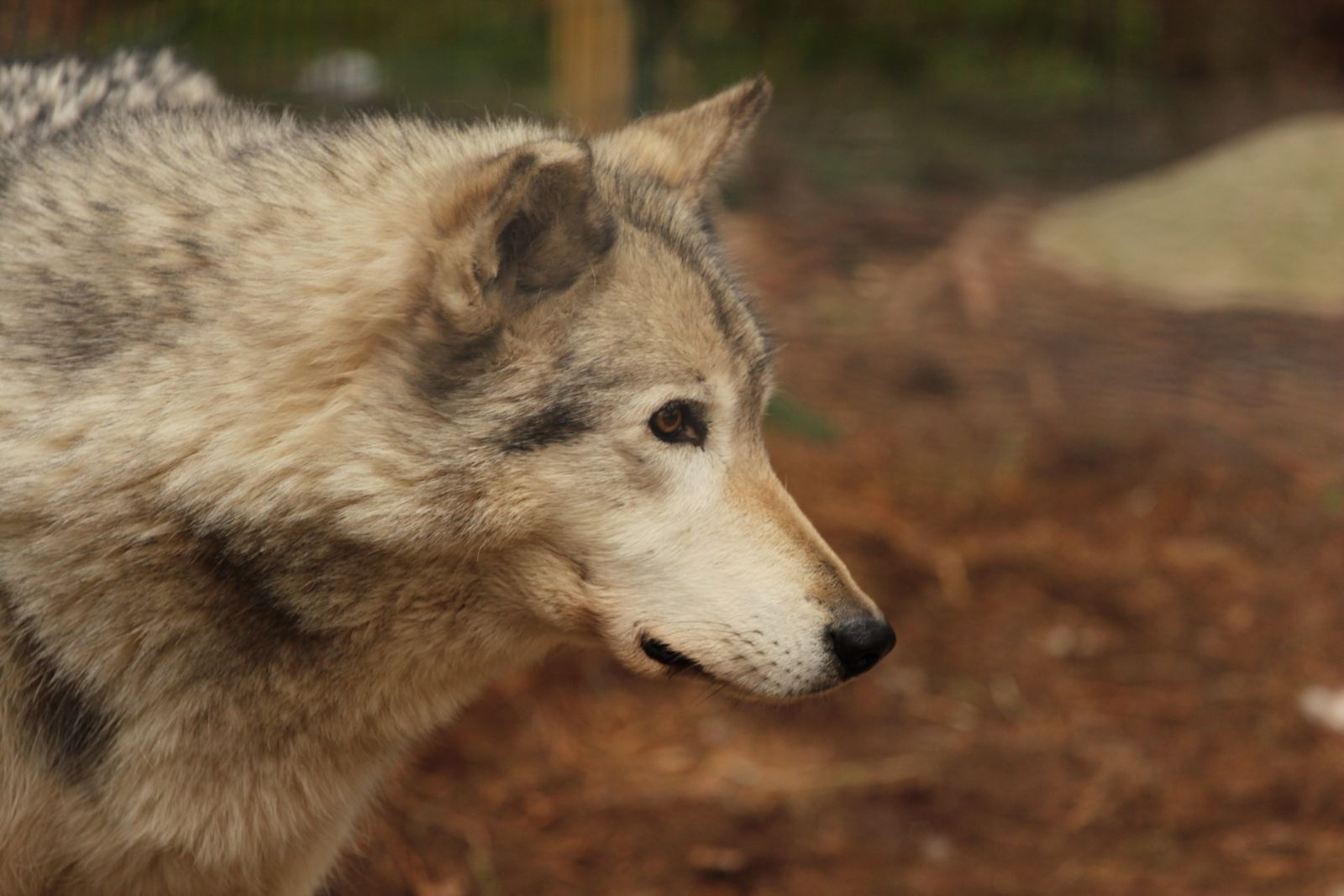 Cree, a gray wolf. Although he has arthritis, he's a fast and enthusiastic runner.