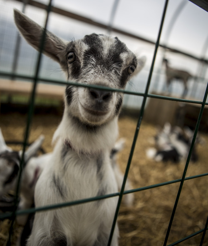 A baby goat will help you smile.