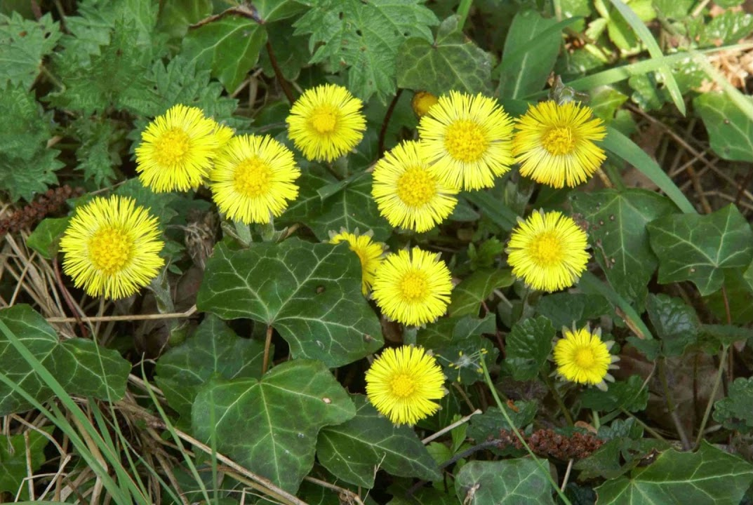 Coltsfoot, a very early bloomer, and a welcome touch of ground level sunshine.