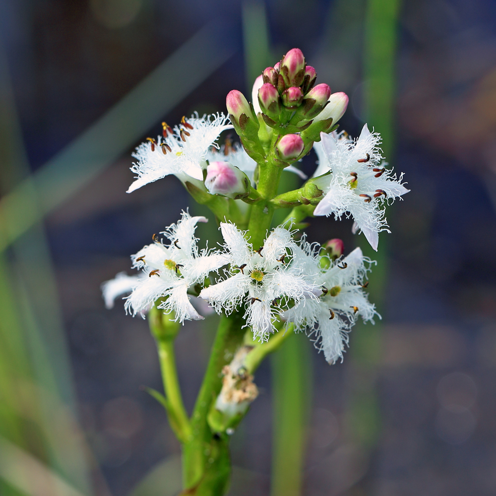 Bogbean, in the midst of bursting into their snowy delicacy. (Photo courtesy ThePondGuy.com)
