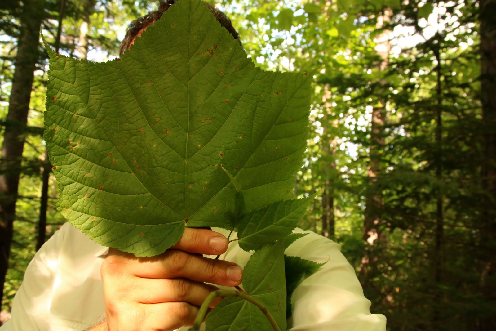 Be on the lookout for striped maple leaves, which can grow to enormous proportions.