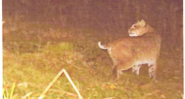 Adirondack Loj Road is home to at least one bobcat sighting.