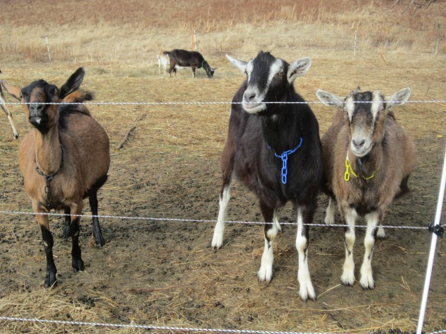 Cardamon, Vern and Violet, waiting for me to fall into their trap.