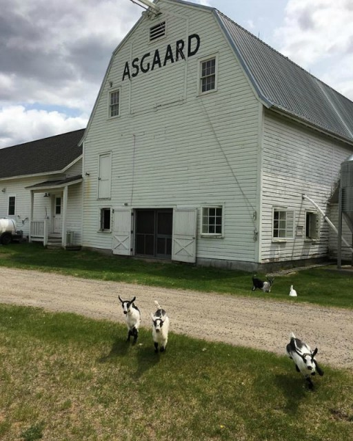 Goats escape from the barn! (from their Asgaard Farm Facebook page)