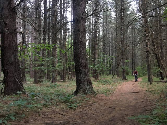 Open pine forest
