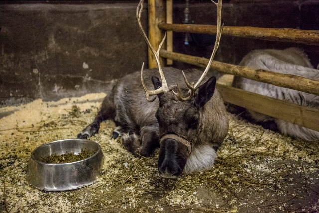 Find out what Santa's reindeer do when they are not pulling his sleigh.