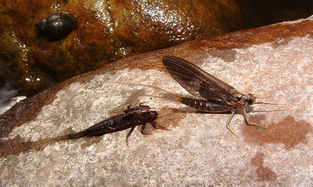 Isonychia Mayflies, Fall fly fishing in the Adirondacks