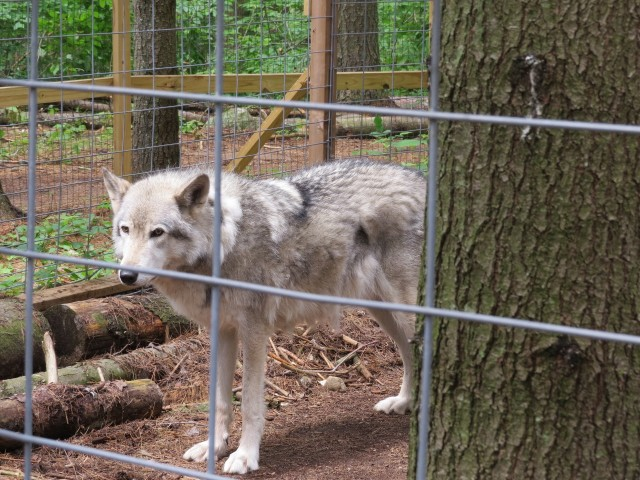 A wolf at the Adirondack Wildlife Refuge and Rehabilitation Center, photo by Joan Collins
