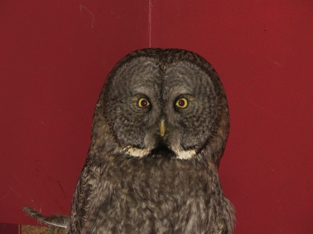 Great gray owl at the Adirondack Wildlife Refuge and Rehabilitation Center, photo by Joan Collins
