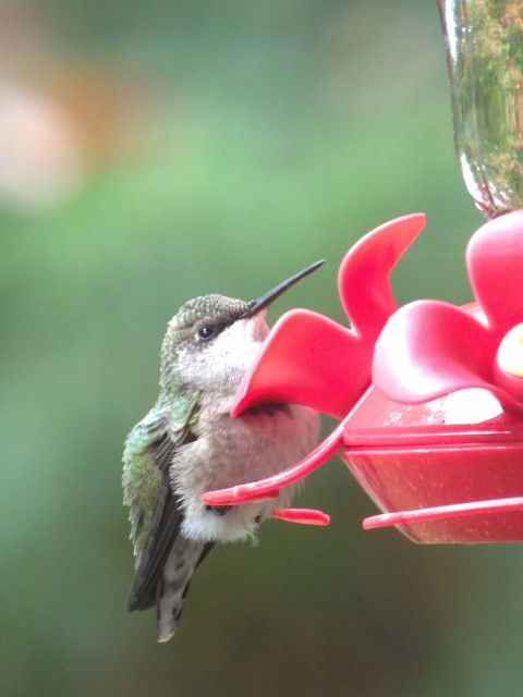 Female ruby-throated hummingbird, photo by Joan Collins