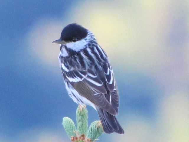 Blackpoll warbler on Whiteface Mountain, photo by Joan Collins
