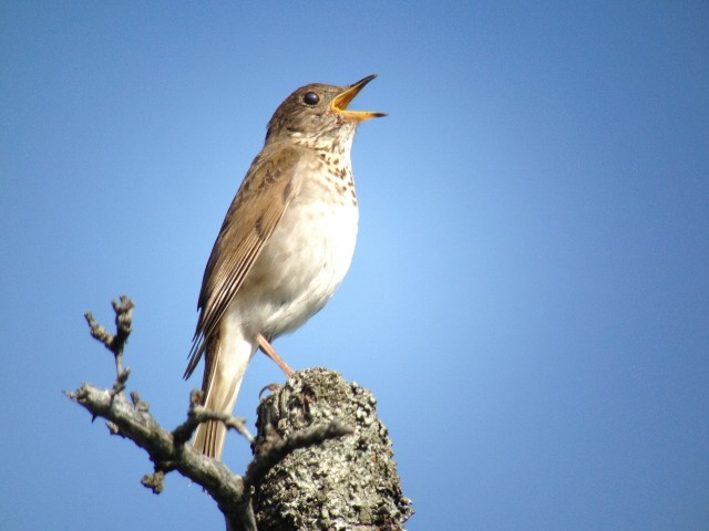 Bicknell's thrush on Whiteface Mountain, photo by Joan Collins