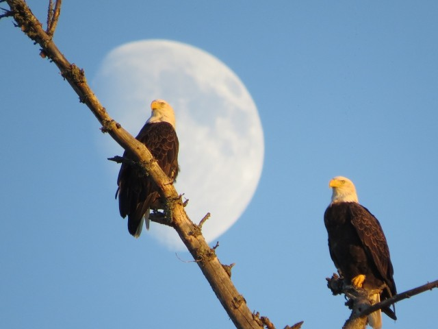 Bald eagles, photo by Joan Collins