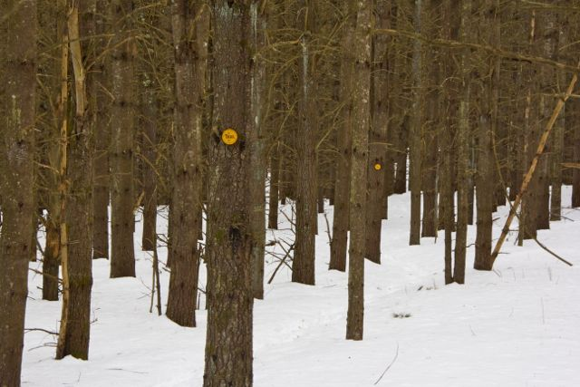 Trailmarkers on the tall pines
