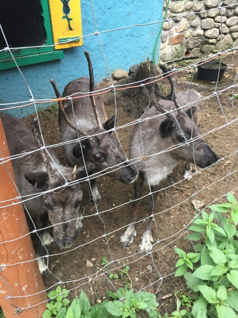 The three little baby reindeer that I got to pet.