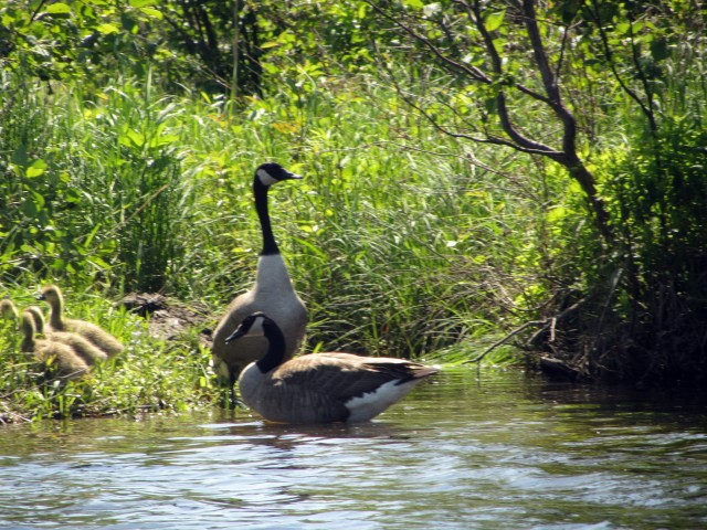 A family of Canada Geese along the shore of the West Branch of the AuSable River.