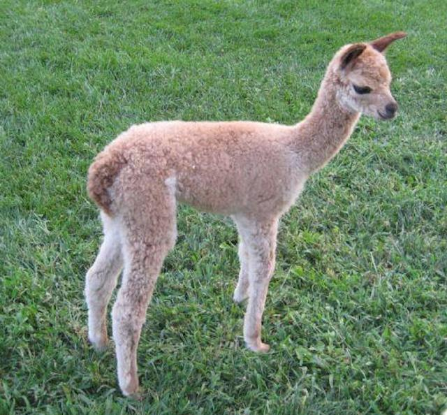 This is Rosie, a cria born on Jay Mountain Alpaca Farm.