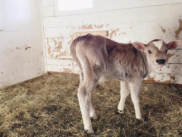 Adorable! But not to be taken home. Brown Swiss milk cows reach half a ton in size.