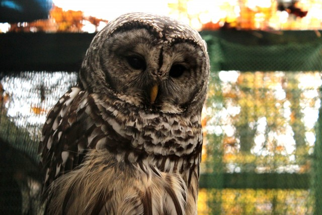 A beautiful barred owl.