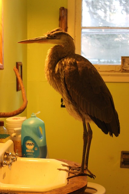 A juvenile great blue heron.
