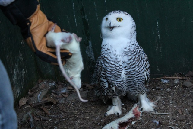Wendy Hall feeds a snowy owl.
