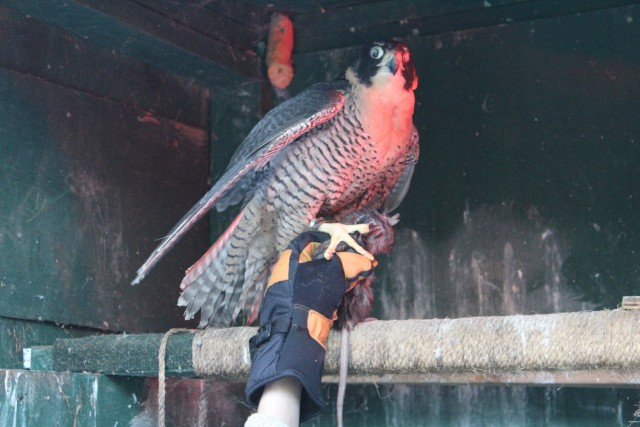 A nearly blind peregrine falcon.