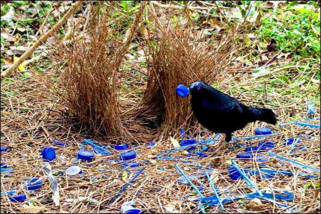 Bowerbirds are attracted to colorful objects.