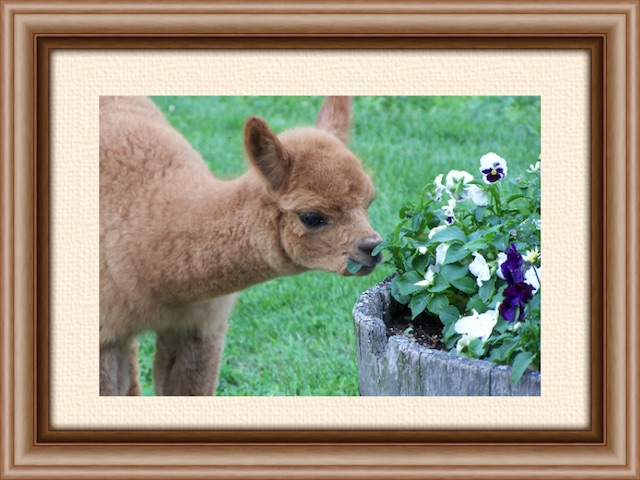 "Actual alpaca baby from Jay Mountain Alpacas. But you must ""squee"" from a distance."