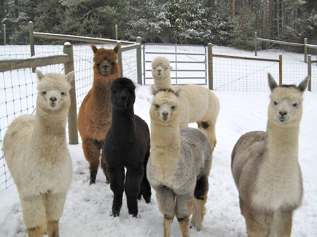 "Jay Mountain alpacas say ""You are welcome!"""