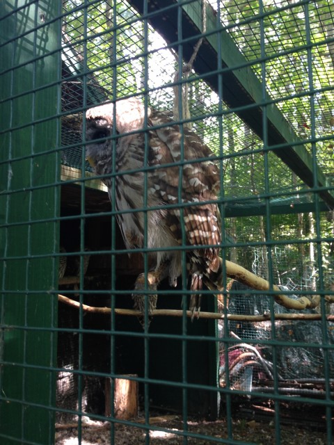 Poor barred owl - he's blind in one eye and has a broken wing
