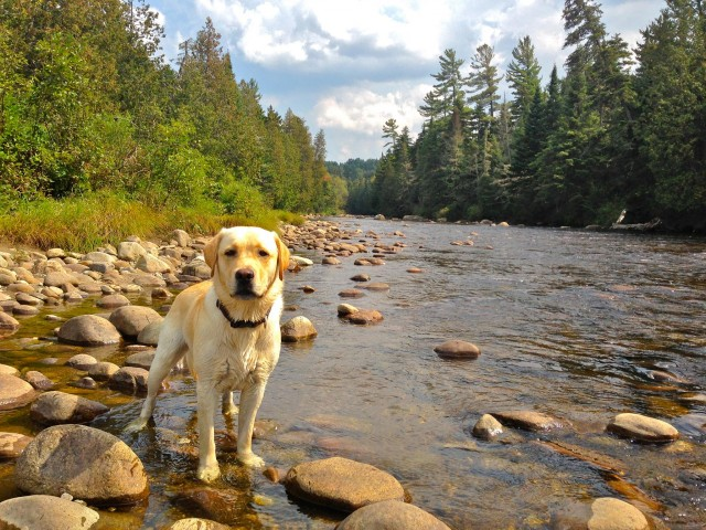dog on the ausable