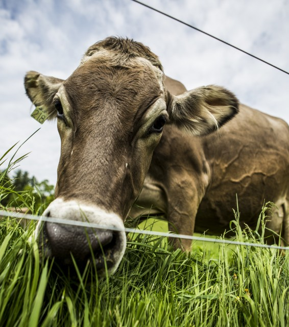 Brown Swiss bovine. There are 11 more of these. They are hearty, sturdy bovines made for hilly and cold landscapes. And they produce fine cheese.